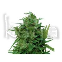 Royal Queen Seeds Solomatic CBD 3pces